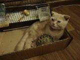 Мои домашние питомцы... Британский вислоухий кот Каспер, черепашка Паша и попугаи Гоша и Саша..